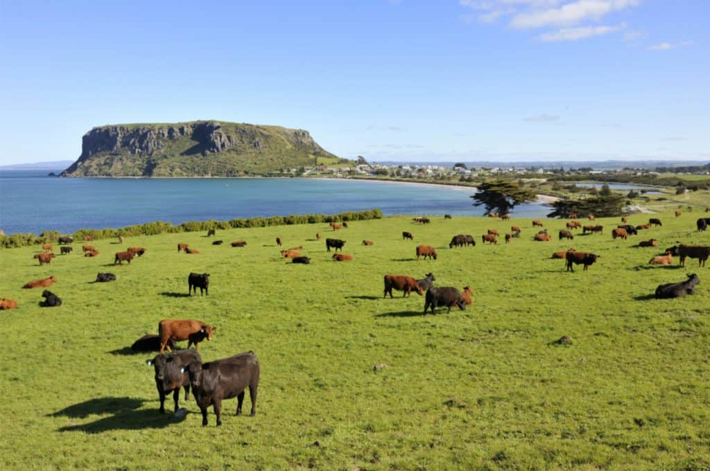 24   Tasmanian tourism attraction, the nut, with cows. This is located in Stanley in Tasmania, Australia.